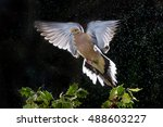 A Mourning Dove Flies Over A...