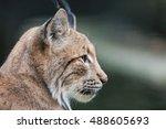 portrait of eurasian lynx  lynx ...   Shutterstock . vector #488605693