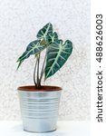 Small photo of Kris Plant, Alocasia polly in pot Isolated on White Background.