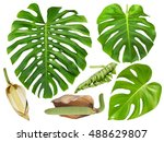 Monstera Leaf  Flower And Frui...