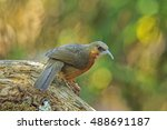 Small photo of Beautiful of Rusty-cheeked Scimitar Babbler ( Pomatorhinus erythrogenys ) Bird, standing on the log showing its back profile, in nature of Thailand
