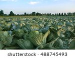 big cabbage field. agricultural ... | Shutterstock . vector #488745493