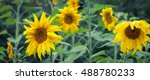 Постер, плакат: Sunflowers In Bloom Bright