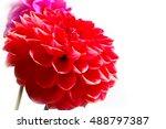 dahlia garden image as an... | Shutterstock . vector #488797387