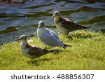 Three Sea Gulls On The Green...