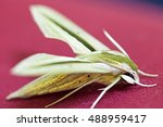 Small photo of Green Live insect Tropical butterfly - moth called Daphnis hypothous also known as jade hawkmoth with amazing aerodynamic body structure on red background, close-up photo