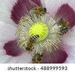 Bees On Purple Poppy