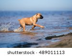 red cane corso puppy running in ... | Shutterstock . vector #489011113
