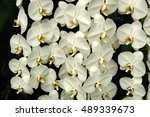 orchids. white orchid flower. | Shutterstock . vector #489339673