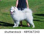 Big White Samojed Dog Standing