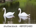 Two White Swan Floating In A...