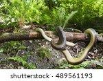 Small photo of Zamenis longissimus, Aesculapian snake, Piedmont, Italy