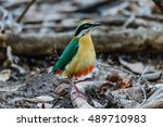 exotic beauty indian pitta on... | Shutterstock . vector #489710983