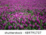 Tulips Tulips Tulips Tulips...