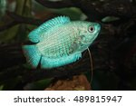 Small photo of Portrait blue form of fish from genus Trichogaster (Colisa) in aquarium
