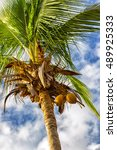 coconut tree with hanging...   Shutterstock . vector #489925333
