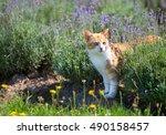 Red Cat In In Lavender