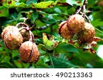 Ripe Conkers On Horse Chestnut...