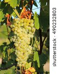 grapes on a branch | Shutterstock . vector #490232803