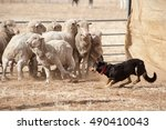 Sheep Dog Working Sheep..
