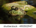 Small photo of American bullfrog (Lithobates catesbeianus or Rana catesbeiana).