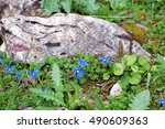 Small photo of Gentiana nivalis (snow gentian or Alpine gentian) at Grossglockner in European alps