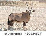 Single Oryx Gazella  Gemsbok ...