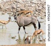 Oryx Gazella  Gemsbok  With...