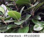 Ficus. Ficus Pattern. Ficus...