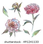 set of white  pink peony... | Shutterstock . vector #491241133