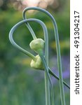 Small photo of Mature onion shoots interlaced in abstract idea