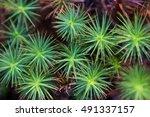 common haircap  polytrichum...   Shutterstock . vector #491337157