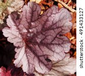 Small photo of Purple coral bells, alumroot (Heuchera 'Milan')