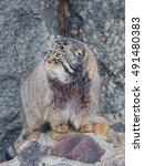Small photo of Wildcat, or Manul or Pallas''s cat. This is a wild cat living in Central Asia.