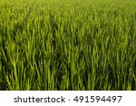 rice terrace background.... | Shutterstock . vector #491594497