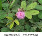 Close Up Of Sensitive Plant Or...