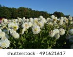 White Dahlias In A Field Of...