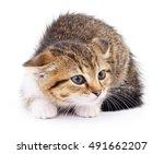 small brown kitten isolated on... | Shutterstock . vector #491662207
