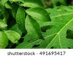 Green Leaves With Drop Of Wate...