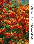 This Is Pyracantha Coccinea ...