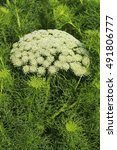 Small photo of Ammi majus in blossom