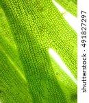 Small photo of zoom microorganism algae