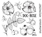 Dog Rose Rose Sketch.