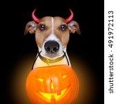 jack russell terrier dog... | Shutterstock . vector #491972113