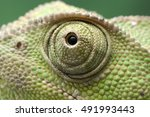 Chameleon Eye Close Up
