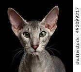 close up portrait of peterbald...   Shutterstock . vector #492099217