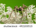 Small photo of Male wolf spider, Alopecosa inquilina on lichen