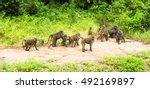 baboon in the  african bush.... | Shutterstock . vector #492169897
