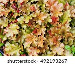 Small photo of Heuchera 'Marmalade' (coral bells, alumroot) in the garden