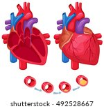human heart anatomy. medical... | Shutterstock .eps vector #492528667